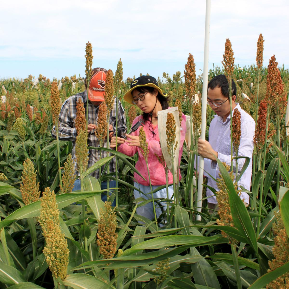 research in sorghum field University of Nebraska Lincoln
