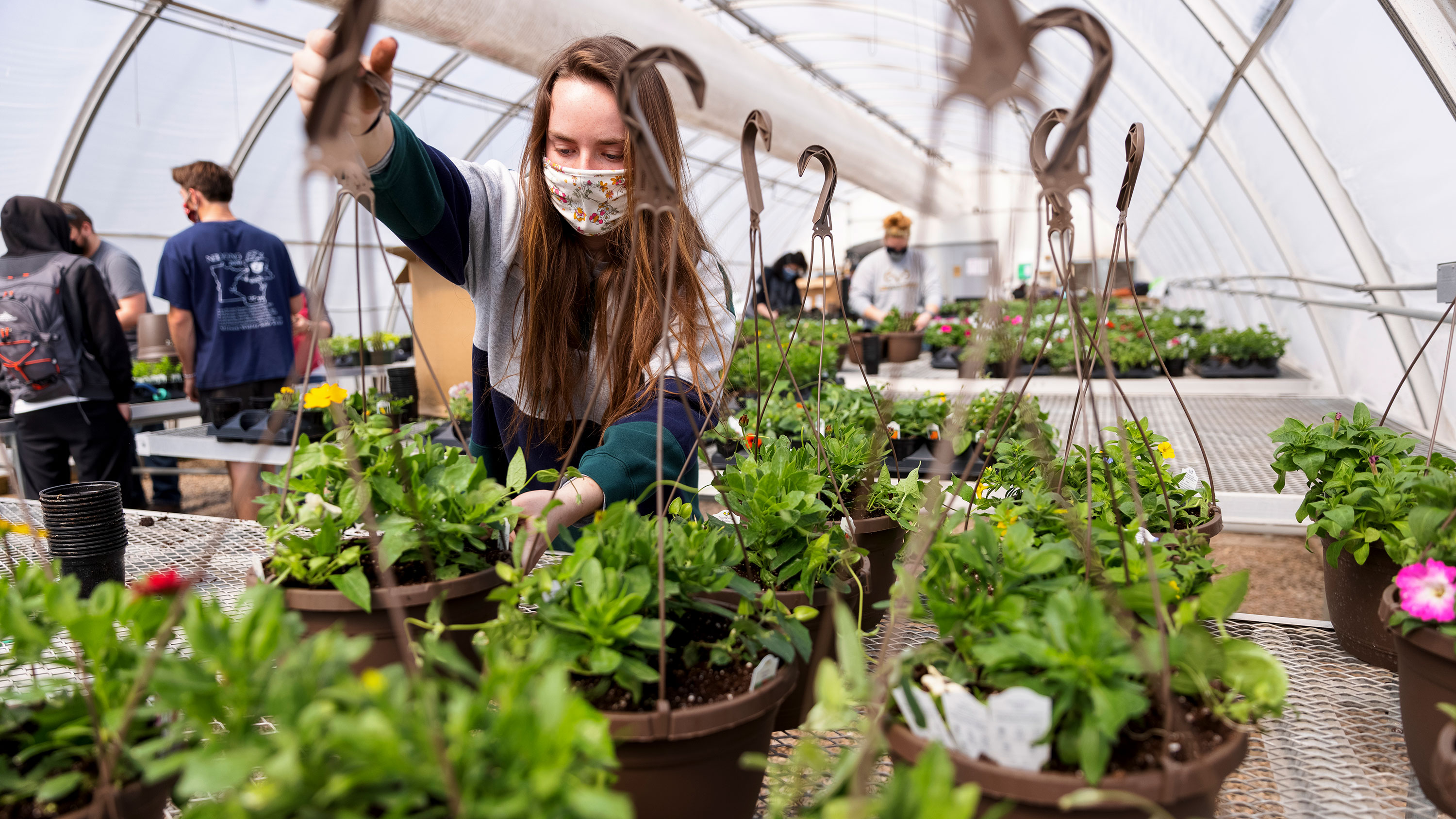 Taylor Cammack moves a finished hanging basket onto the rack so they can be watered during a club work session. Members of the horticulture club prepare plants in the greenhouses on east campus. The plants will be sold at their annual spring sale April 28–30. Craig Chandler | University Communication