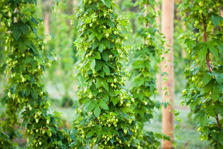 Hops contribute the bitter and aromatic flavors to beer. Recent increasing demand in specialty beers and locally sourced ingredients, compounded with the decline in worldwide hop production and commodity crop prices, has resulted in an increased interest in local hop production.
