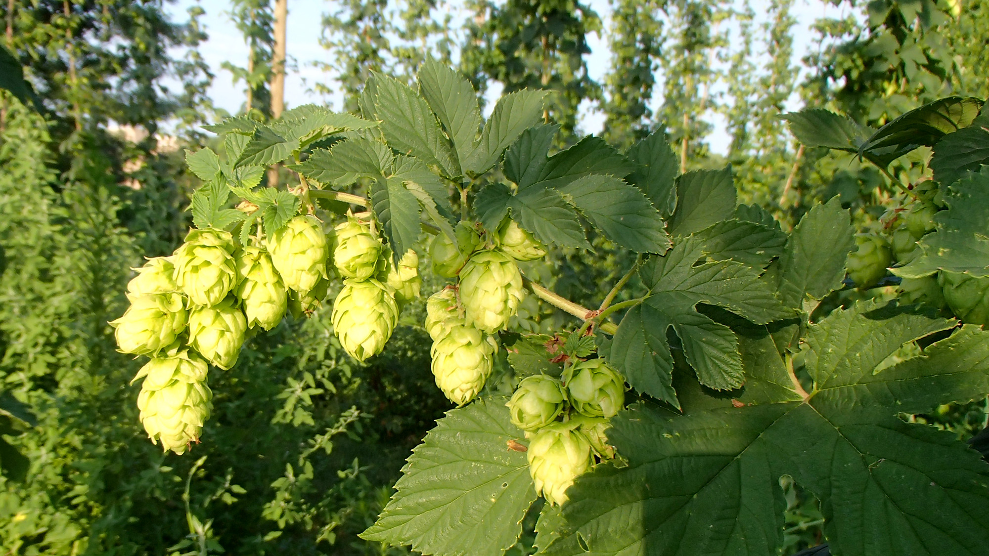 A hops field day will be held Aug. 21 at the West Central Research, Extension and Education Center in North Platte.