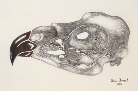Scratchboard illustration of red-tailed hawk skull is by Dana Clements.
