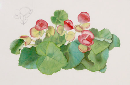 "Watercolor and graphite illustration ""Begonia Cultivar"" is by MaryBeth Hinrichs"