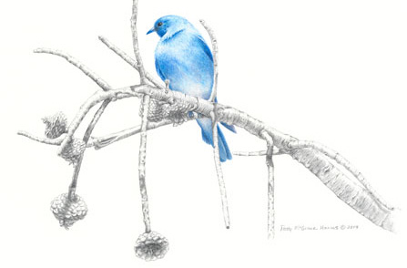 "Colored pencil illustration ""Old Pine and Blue"" is by Patty McGrane Harms"