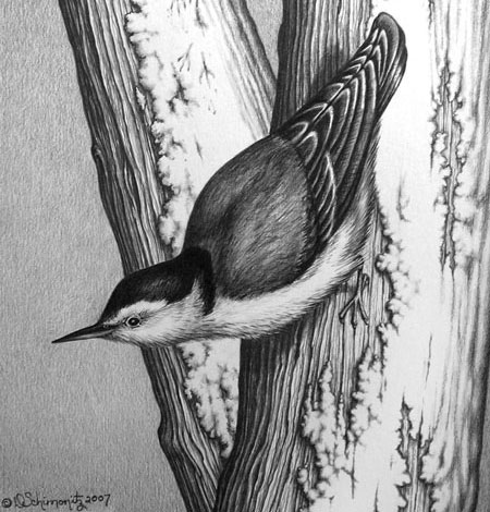 White-breasted nuthatch in graphite by Donna Schminotiz.
