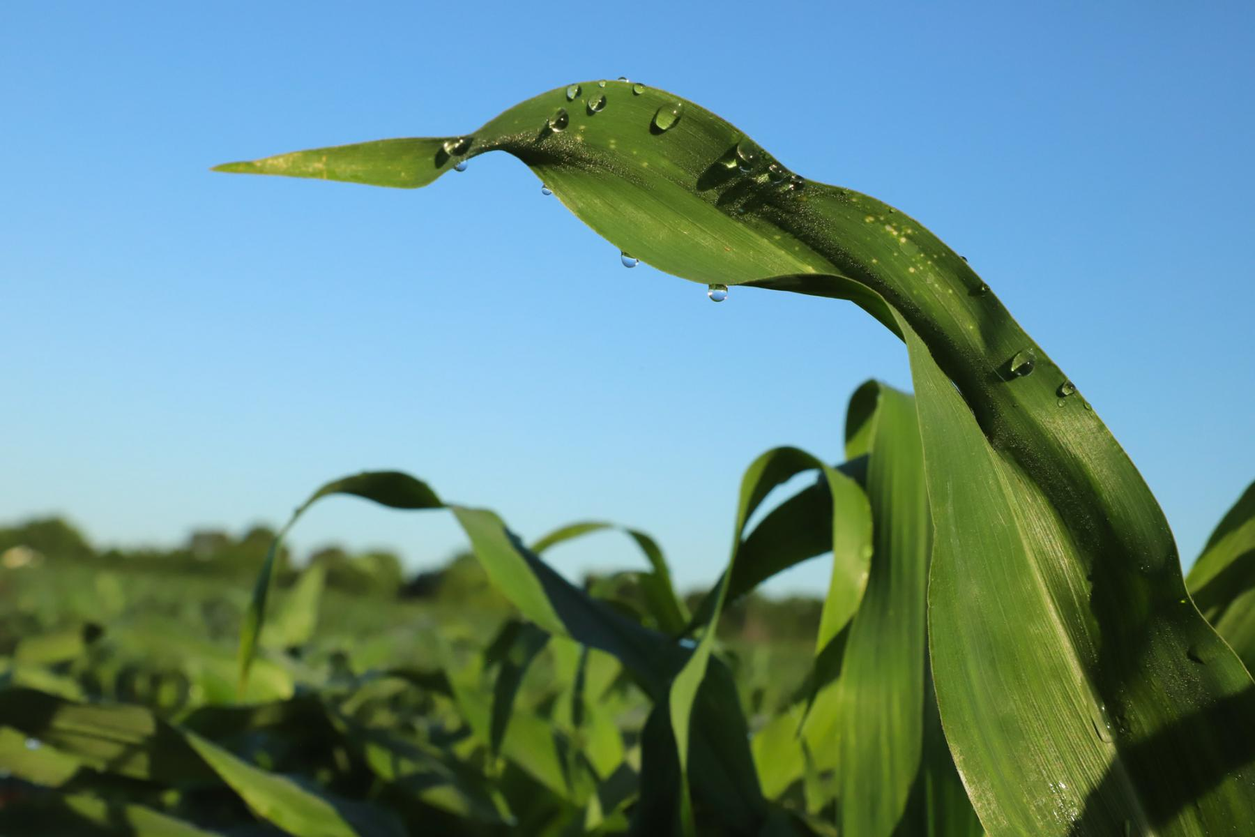 Guttation drops hang from corn leaves
