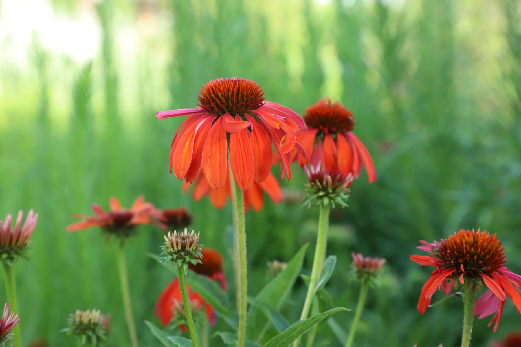 Echinacea purpurea, or coneflower, blooms in the Backyard Farmer garden on East Campus.