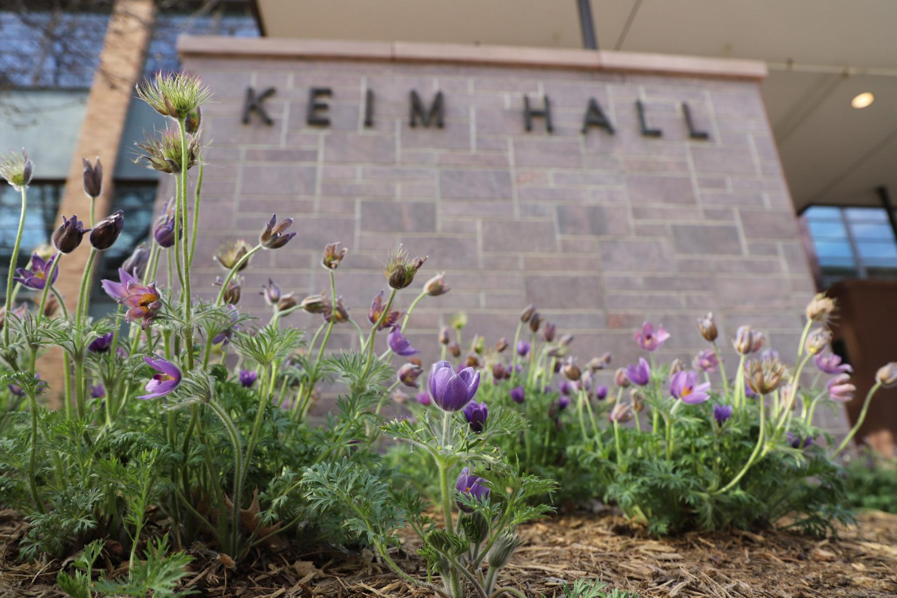 Pulsatilla patens, pasque flower in front of Keim Hall, East Campus