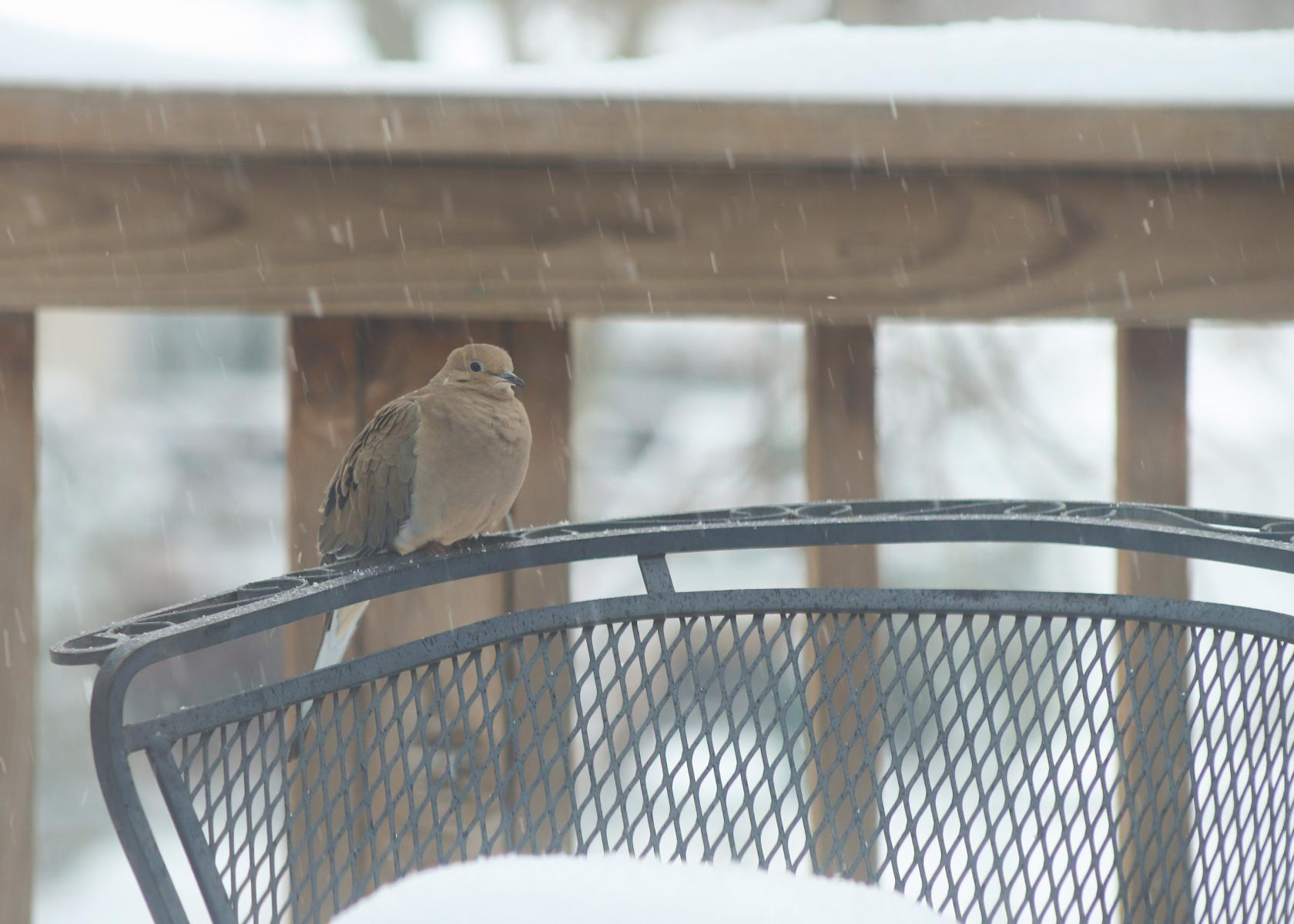 mourning dove rests during storm
