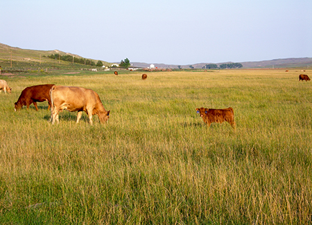 Rangeland and cattle
