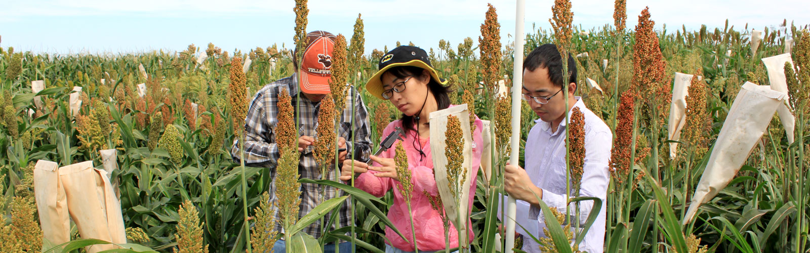 phenotype measuring in sorghum