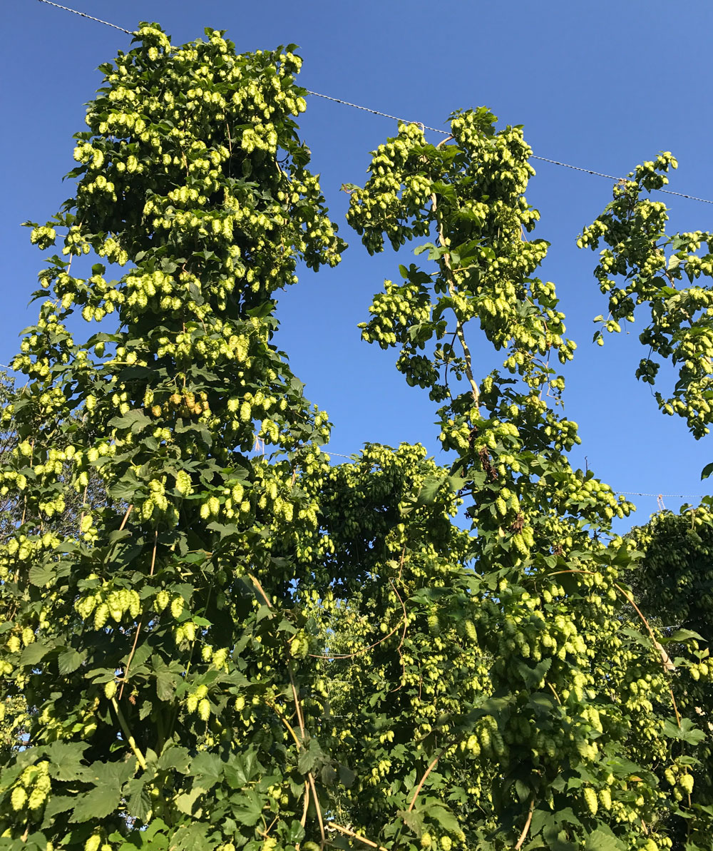Hops growing in the East Campus Hop Yard.