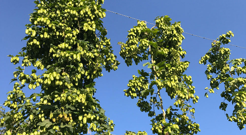 Hops growing in the East Campus Hops Yard.