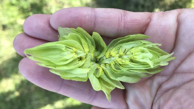 A freshly picked hop, split in two. (Photo courtesy Katie Kreuser)