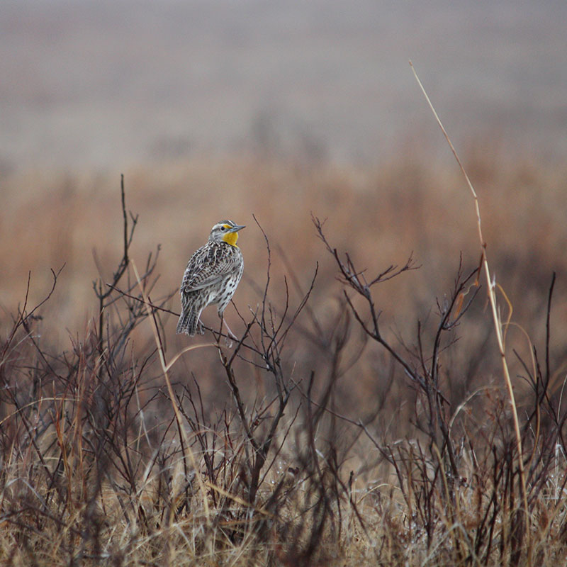 Birds Western Meadowlark