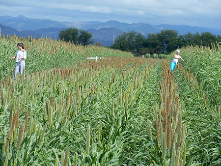 Pollinating pearl millet for in a hybrid production field in Puerto Rico