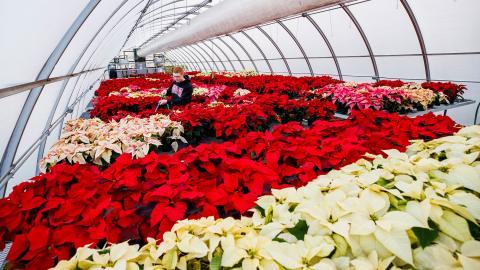 In 2019, horticulture major Brandon Mars waters the poinsettias in an East Campus greenhouse to be sold at the Horticulture Club sale. Craig Chandler | University Communication