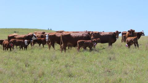 University of Nebraska–Lincoln researchers are using collars fitted with GPS and accelerometers to track the movements and behavioral patterns of beef cattle and how they link to efficient beef production systems. Natalie Jones   IANR Media