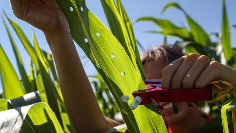 Sierra Conway, an undergraduate student at the University of Nebraska–Lincoln, collects RNA from a set of diverse corn varieties that her research team is growing and studying at the Department of Agronomy and Horticulture research fields in Lincoln.
