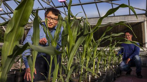 Nebraska's Jinliang Yang (left), Gen Xu and their colleagues have found evidence that a process known for turning genes off and on contributed to the emergence of important traits in modern-day maize.