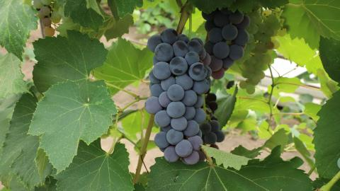 Some Nebraska winemakers are optimistic about the state's 2020 vintage even though grape harvest final tonnage estimates are roughly half of last year's crop.