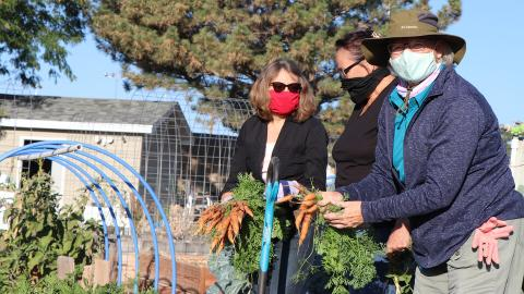 Harvesting carrots earlier in October at the Ever Green Community Garden in Gering are (from left) Extension Educator Tammie Ostdiek and Extension Master Gardeners Carol Knaub and Tina Luz.