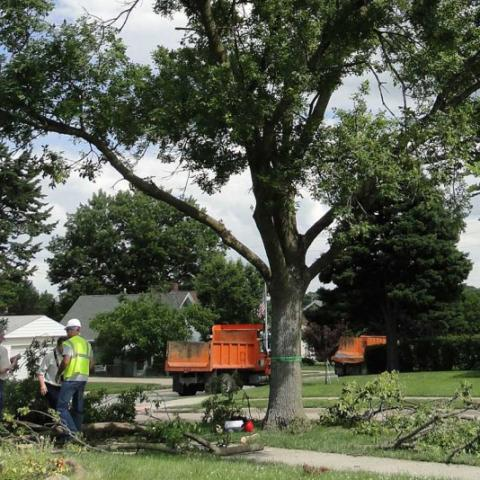 North American Ash tree infected with emerald ash Borer in Omaha
