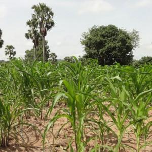 cornfield in Ghana exhibits signs of water stress, courtesy Marloes van Loon
