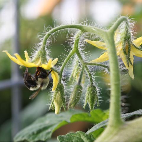 bee on tomato plant