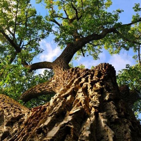 Eastern Cottonwood at Maxwell Arboretum