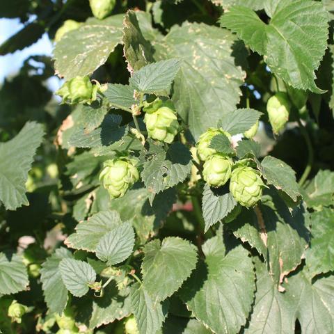 Nebraska hops