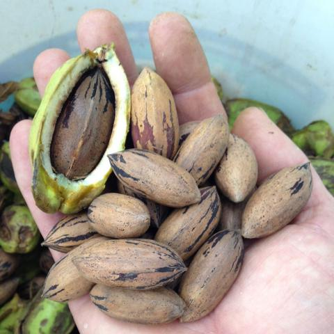 Locally-grown Nebraska pecans