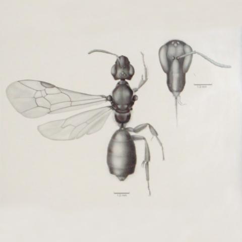 Chlerogella rostrata, a South American bee, drawn in Adobe Photoshop for Dr. Michael Engel,2010. Illustration by Sara Taliaferro.