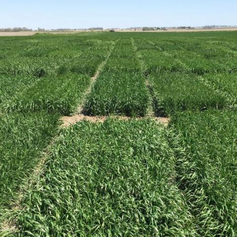 Winter Wheat Variety trial