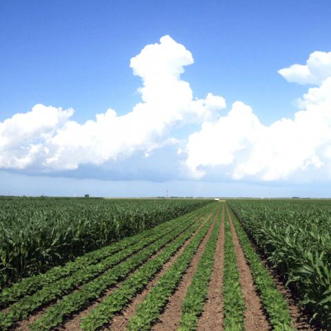 Corn and soybean field