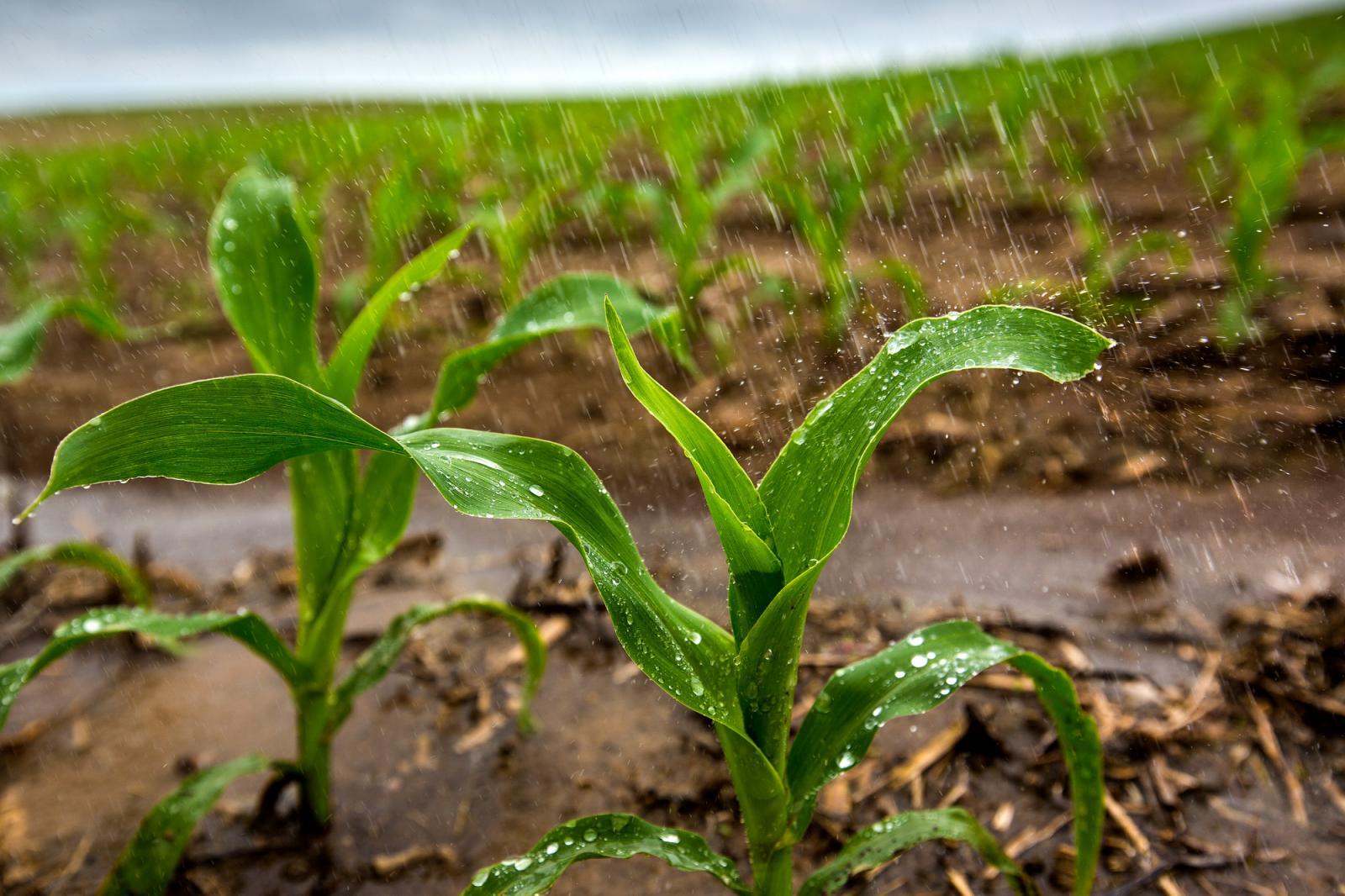 Corn in the rain