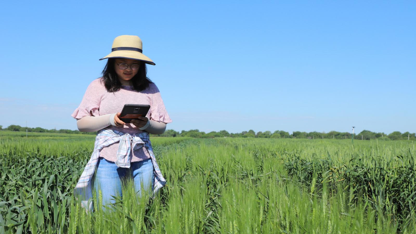 Fang Wang recording data in wheat field